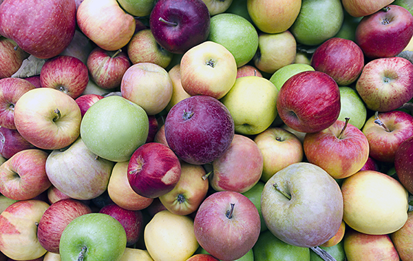 Loose, bulk apples, mixed varieties, red, golden, and green, at harvest time. © Terrance Emerson, Shutterstock