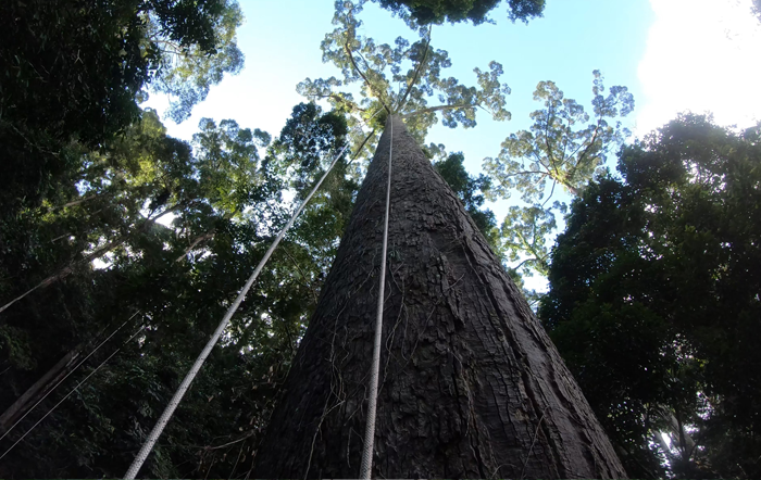 The view from the bottom of the tallest tropical tree in the world